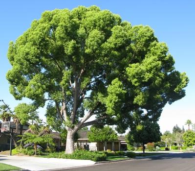 cinnamomum-camphora-tree-2